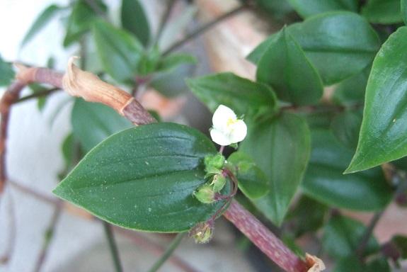 Tradescantia anagallidea ? [identification non confirmée] Dscf7313