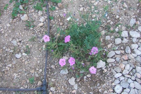 pétunia - Petunia - les pétunias (hybrides, cultivars...) Dscf7321