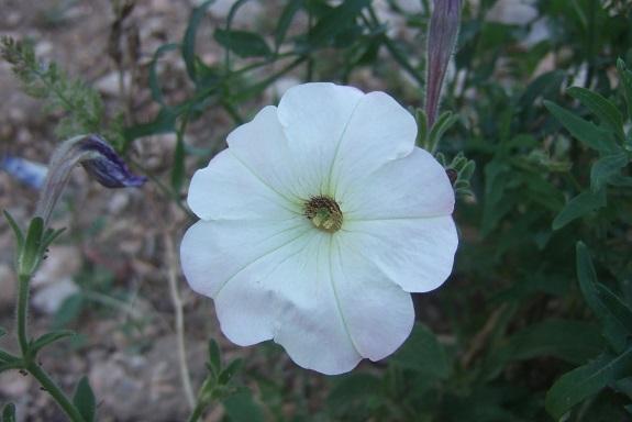 pétunia - Petunia - les pétunias (hybrides, cultivars...) Dscf7322