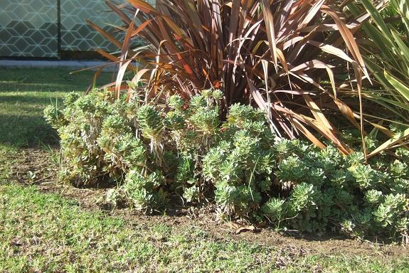 Ajania pacifica - chrysanthème du Pacifique Dscf7350