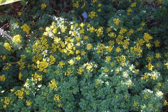 Ajania pacifica - chrysanthème du Pacifique Dscf7351