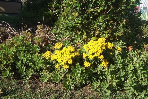 Ajania pacifica - chrysanthème du Pacifique Dscf7352