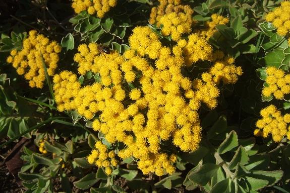 Ajania pacifica - chrysanthème du Pacifique Dscf7353