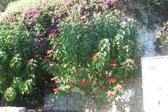 Euphorbia pulcherrima (= Poinsettia pulcherrima) - étoile de noël - Page 3 Dscf7364