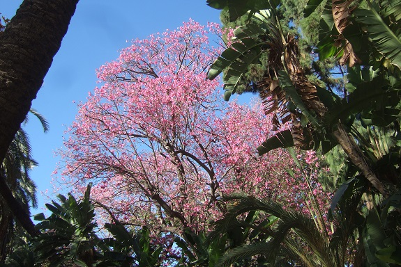 Ceiba speciosa (= Chorisia speciosa) - Page 3 Dscf7370