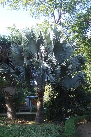 Bismarckia nobilis - palmier bleu de Madagascar Dscf7381