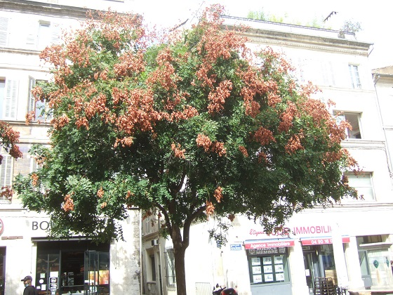Koelreuteria paniculata - savonnier - Page 4 Dscf7386