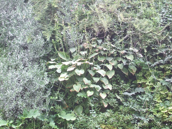 murs végétalisés extérieurs  - Page 3 Dscf7394