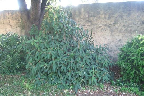 Viburnum rhytidophyllum Dscf7427