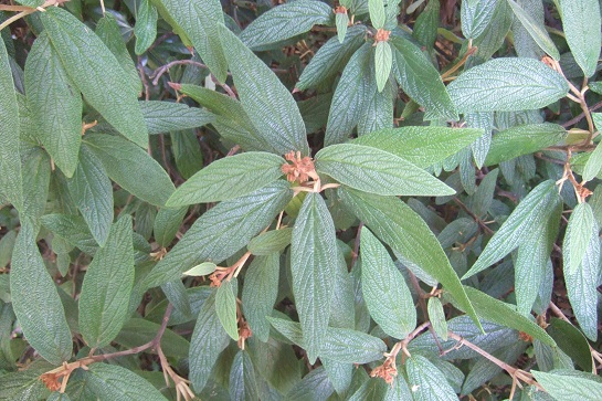 Viburnum rhytidophyllum Dscf7428