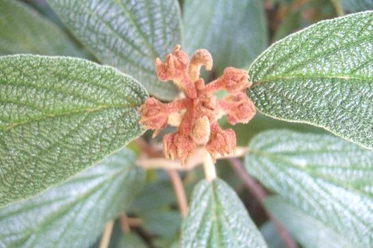 Viburnum rhytidophyllum Dscf7429
