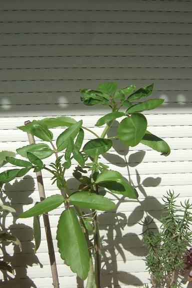 Bryophyllum proliferum (= Kalanchoe prolifera) Dscf7430