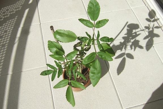 Bryophyllum proliferum (= Kalanchoe prolifera) Dscf7431
