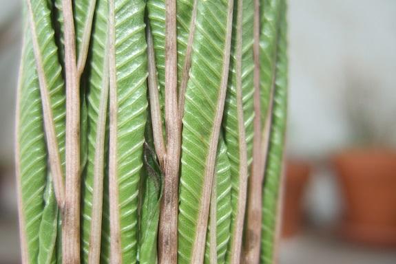 Amorphophallus konjac - Page 5 Dscf7441