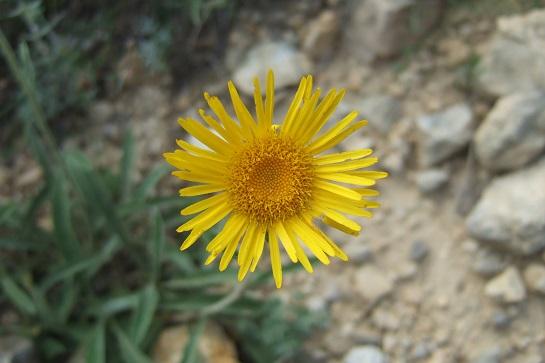Inula montana - inule des montagnes Dscf7443