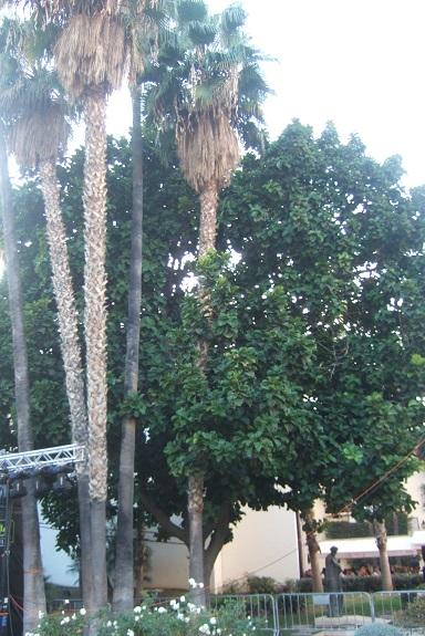 Ficus lyrata - figuier lyre Dscf7459