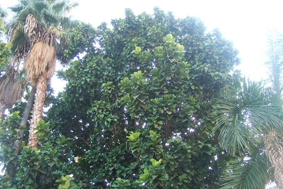 Ficus lyrata - figuier lyre Dscf7460
