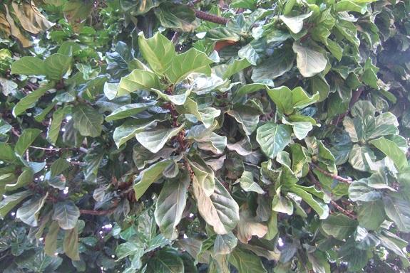 Ficus lyrata - figuier lyre Dscf7461