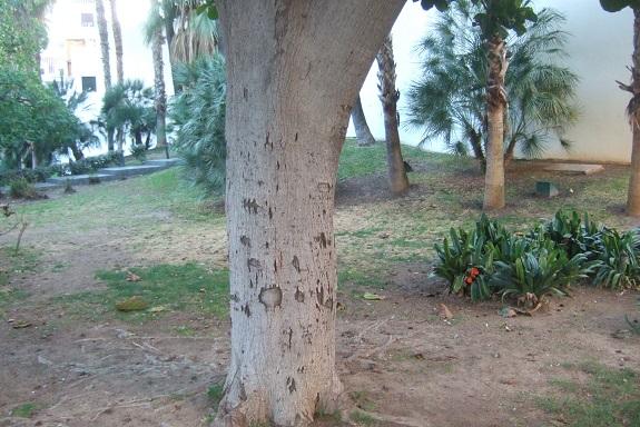Ficus lyrata - figuier lyre Dscf7462