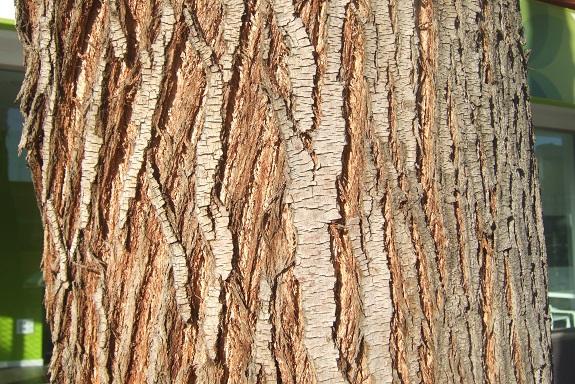 Grevillea robusta Dscf7467