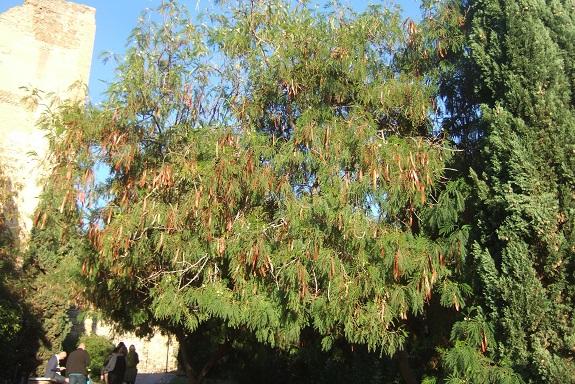Leucaena leucocephala Dscf7473