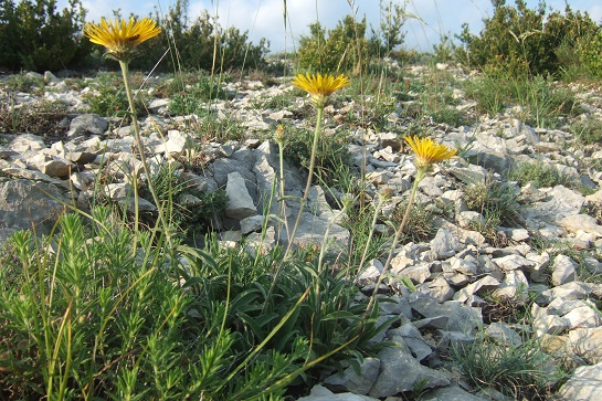 Inula montana - inule des montagnes Dscf7515