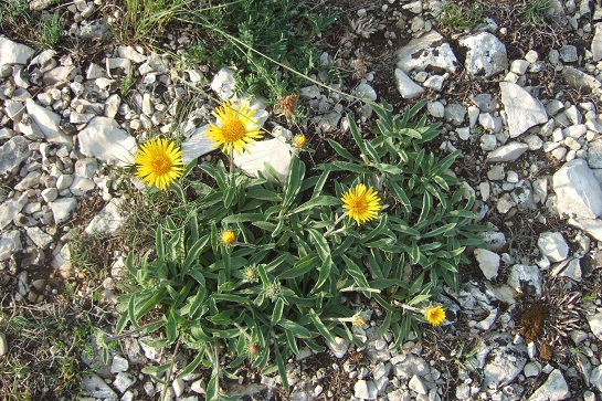 Inula montana - inule des montagnes Dscf7516