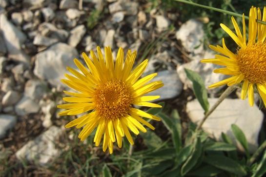 Inula montana - inule des montagnes Dscf7517