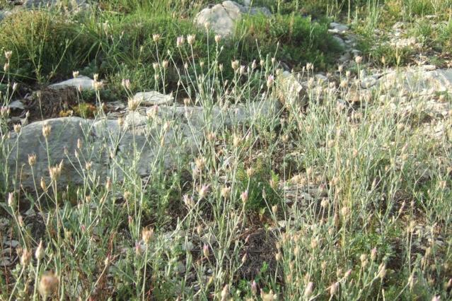Xeranthemum inapertum - xéranthème fermé Dscf7518