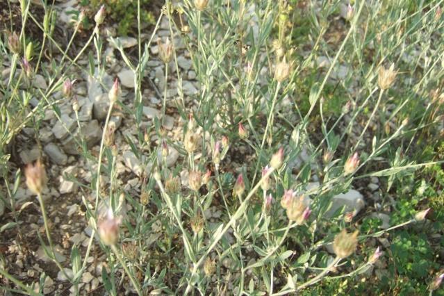 Xeranthemum inapertum - xéranthème fermé Dscf7519