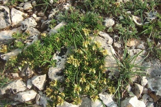 Teucrium montanum - germandrée des montagnes  Dscf7523