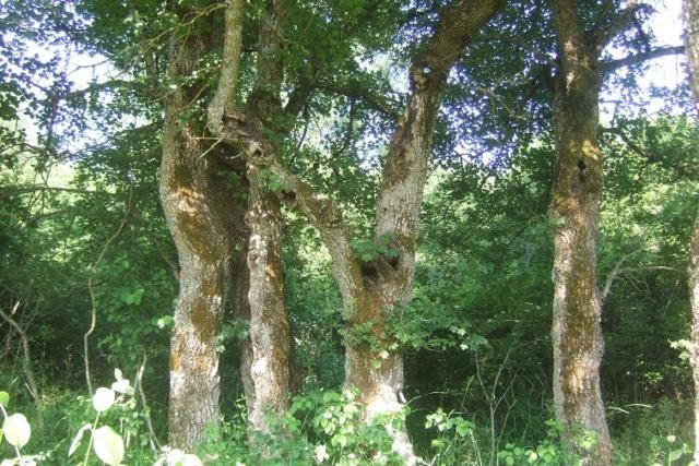 Acer campestre - érable champêtre - Page 3 Dscf7525