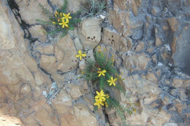 Hypericum coris - millepertuis verticillé Dscf7610