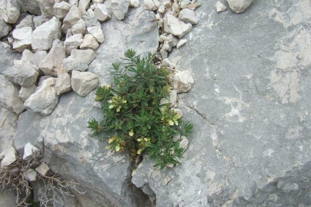 Teucrium montanum - germandrée des montagnes  Dscf7623