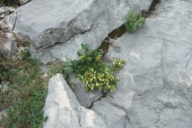 Teucrium montanum - germandrée des montagnes  Dscf7624