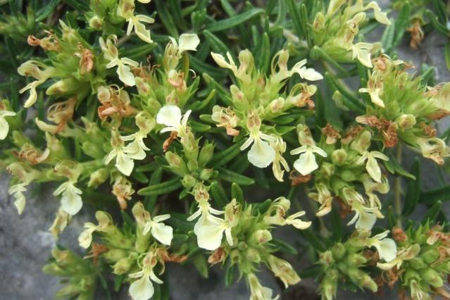 Teucrium montanum - germandrée des montagnes  Dscf7625
