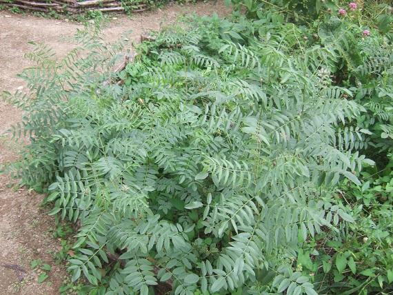 Glycyrrhiza glabra Dscf7650