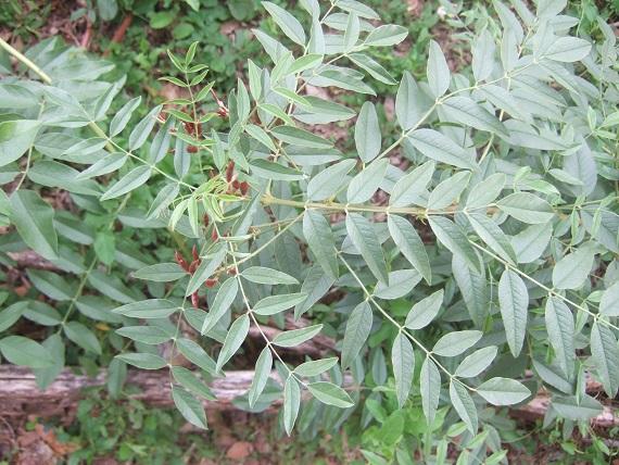 Glycyrrhiza glabra Dscf7651