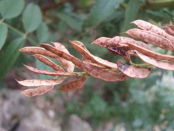 Glycyrrhiza glabra Dscf7654