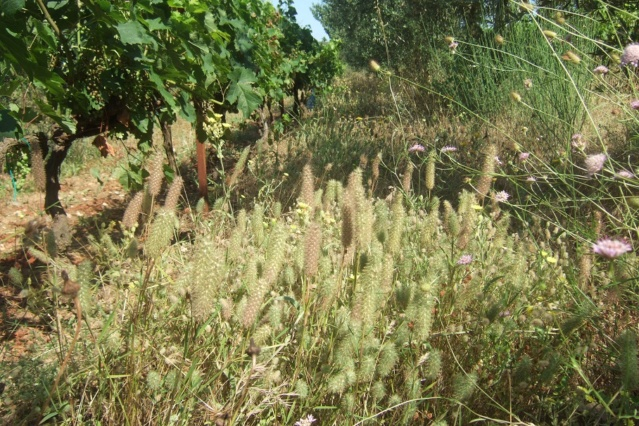 Trifolium angustifolium - trèfle à feuilles étroites Dscf7728