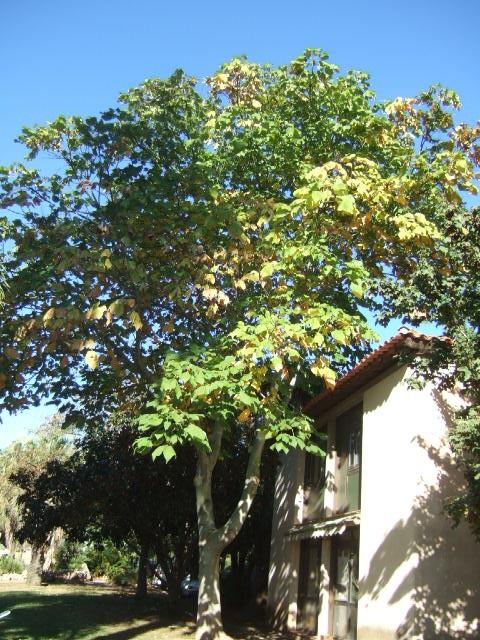 Firmiana simplex - firmiana à feuilles de platane Dscf7734