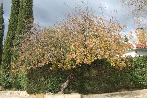 Pistacia terebinthus - pistachier térébinthe - Page 2 Dscf7736