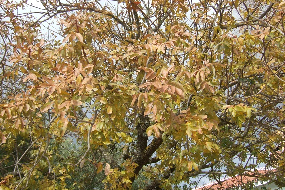 Pistacia terebinthus - pistachier térébinthe - Page 2 Dscf7737