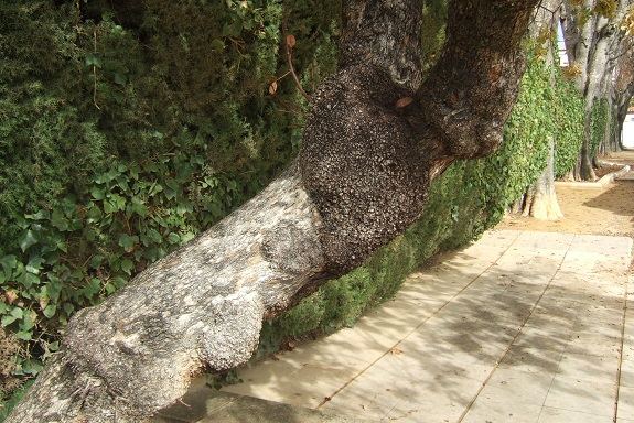 Pistacia terebinthus - pistachier térébinthe - Page 2 Dscf7738