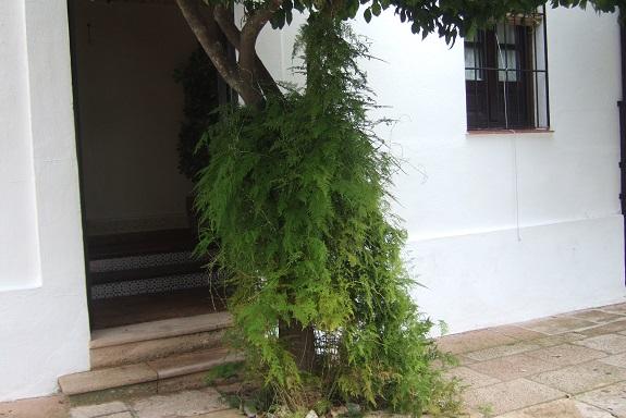 Asparagus setaceus (= Asparagus plumosus) Dscf7740