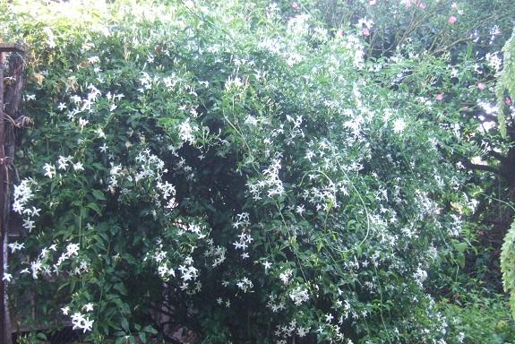 Jasminum azoricum - jasmin des Açores Dscf7755