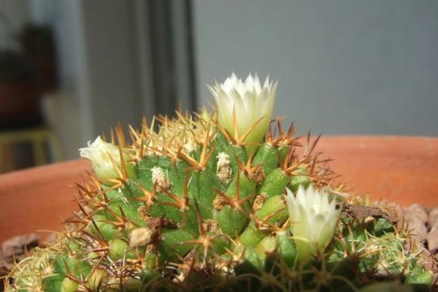 Mammillaria decipiens ssp. camptotricha Dscf7837