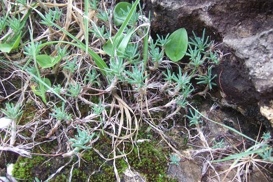 Sedum amplexicaule - orpin à feuilles embrassantes Dscf7840