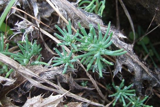 Sedum amplexicaule - orpin à feuilles embrassantes Dscf7841