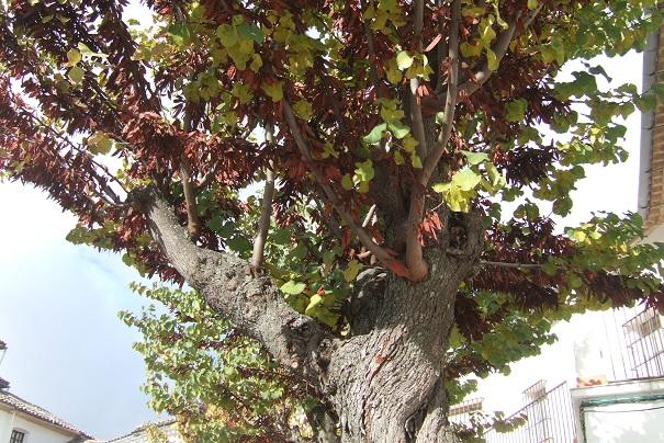 Cercis siliquastrum - arbre de Judée  - Page 4 Dscf7865
